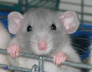 Лудомания, оказывается, излечима - к такому выводу пришли учёные после опытов на крысах