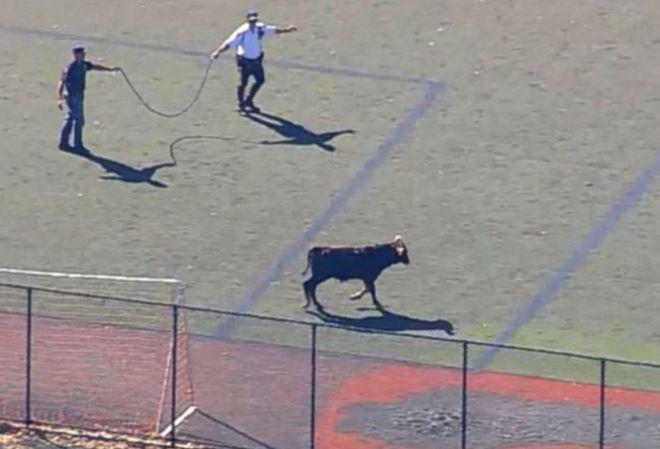 Даниэль Негреану и Дэн Билзериан пытаются спасти быка от ножа мясника